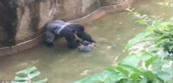 Cincinnati : Bimbo cade nel recinto dello zoo, ucciso un raro gorilla per salvarlo