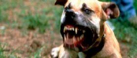 Napoli : Pitbull impazzito azzanna un bimbo di 10 anni