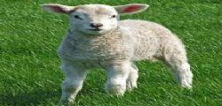 In Turchia nasce un agnellino dal volto umano!