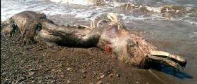 Russia, strana creatura ritrovata sulla spiaggia : Sembra un delfino o un mammut con pelliccia