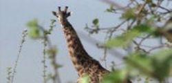 Le giraffe si estinguono lentamente : calo del 40% in meno di 40 anni