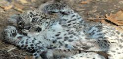 Compra leopardo, orango e orso su Instagram : Arrestato