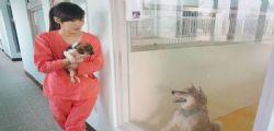 Jian Zhicheng sopprimeva cani randagi : Veterinaria si uccide