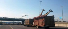 Pretoria : Giraffa muore battendo la testa contro un ponte troppo basso