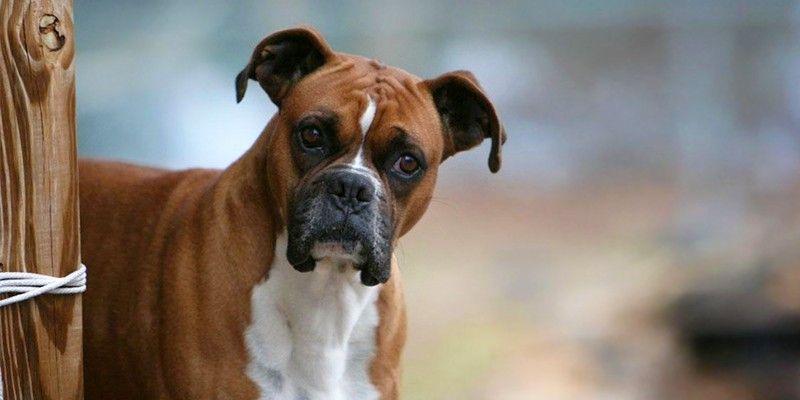 Bambina lotta tra la vita e la morte, azzannata da un boxer, cane solitamente docile