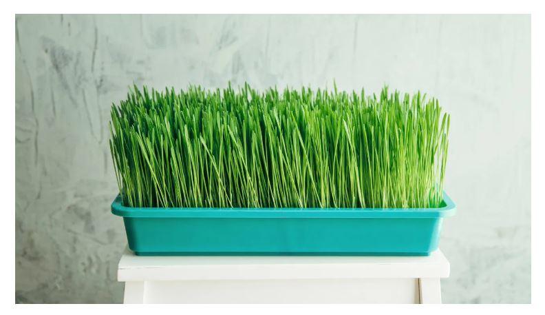 L'erba di grano è senza glutine?
