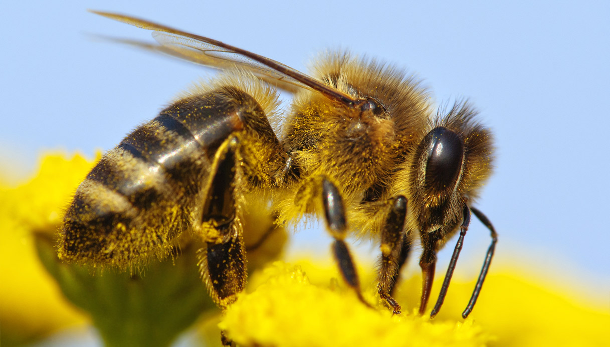 Salute: una pericolosa vespa killer dal Giappone e Cina è giunta nelle regioni italiane