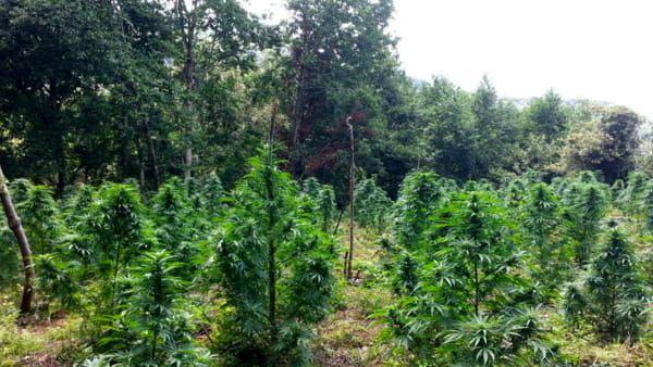 Capaccio (Sa) - arrestato contadino 64enne : Coltivava marijuana nel suo terreno per poi spacciarla