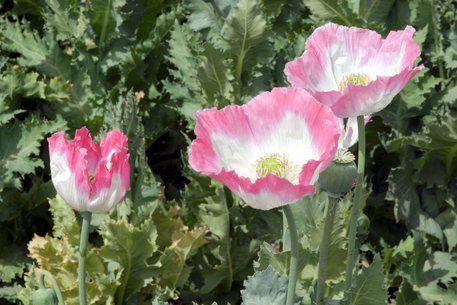 In Afghanistan record produzione oppio