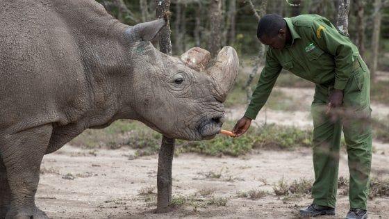 Kenya : morto Sudan, l' ultimo rinoceronte bianco maschio