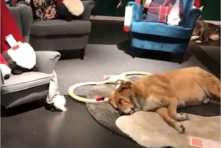 Maltempo a Catania, Ikea apre le porte ai cani randagi | Video