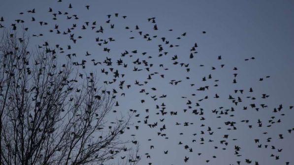 Un gran botto! Stormi di uccelli impazziti contro auto e case a Rimini