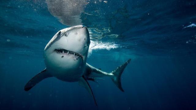 E' enorme! Avvistato lo squalo più grande al mondo ... il Deep Blue di oltre 6 metri
