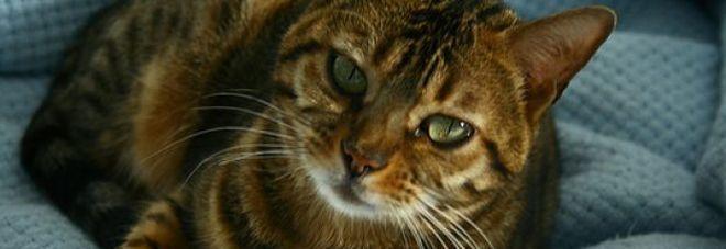 Russia : Gatto si addormenta nella carrozzina, neonato morto soffocato
