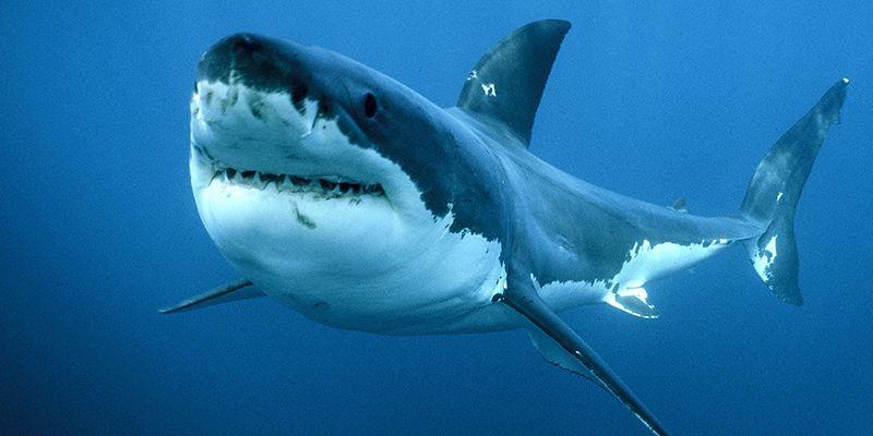 Australia : 33enne attaccato da uno squalo muore dissanguato