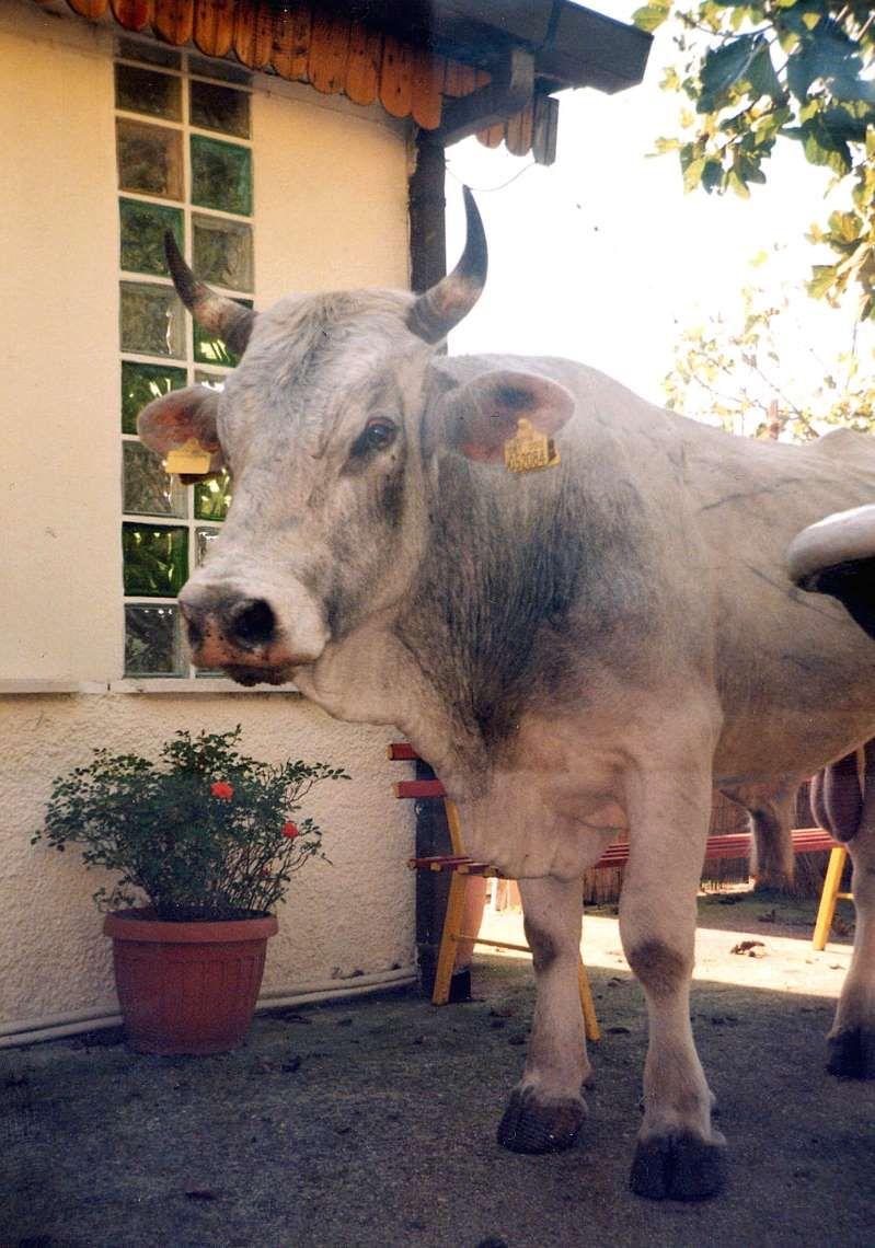 Belluno : toro imbizzarrito uccide il veterinario Paolo Casarin