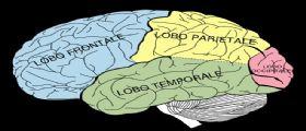 Il primo mini cervello umano completo realizzato con cellule staminali in laboratorio