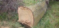 Chieti : 49enne muore schiacciato da una quercia nel bosco