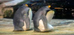 Ping e Skipper... i pinguini gay che adottano un uovo abbandonato da una femmina per covarlo