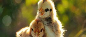 La British Poultry Council offre lavoro da 50 mila euro all