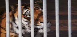 Voleva accarezzare la tigre allo zoo! 29enne rischia di perdere un braccio