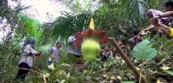 Aro Titano : nella foresta indonesiana il fiore più grande del mondo