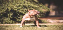Pitbull indisturbati per la città! Vigile salva 27 bambini e viene azzannato