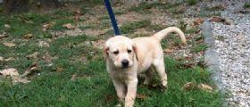Firenze, Romeo il cane che studiava per aiutare i cechi : Ucciso da una polpetta avvelenata
