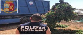 Ragusa : scoperte 6 tonnellate di cannabis tra le coltivazioni del pomodorino tipico di Vittoria