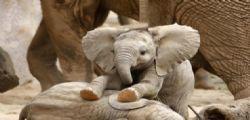 Gli elefanti africani si stanno evolvendo senza le zanne per difendersi dai bracconieri
