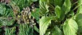 Palermo : Madre e figlia scambiano erba velenosa per borragine e la cucinano