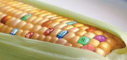 Stop al mais geneticamente modificato