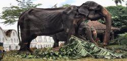 L'elefantessa Tikiiri! A 70 anni obbligata a sfilare malata e denutrita