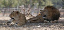 Sudafrica : Turista americana sbranata da leonessa durante safari