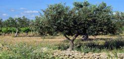 Tragedia nel Salento, pota gli ulivi e muore dissanguato