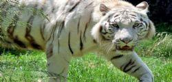Inghilterra : custode zoo uccisa da una tigre