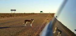 Per un pelo! Dingo entra in camper e trascina via bimbo di 14 mesi