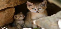 Tel Aviv : Il rarissimo gatto delle sabbie con i suoi cuccioli