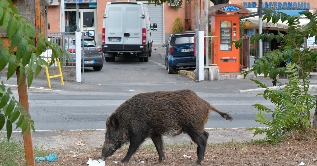 Cinghiali abbattuti a Roma : Una barbara esecuzione, alla storiella dei 5s animalisti non crede più nessuno